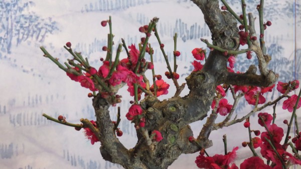 梅花者,隆冬季节开花,室内的那些做成了盆景的梅树,有粉红色的梅花