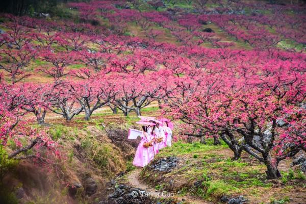 春天里的桃花林