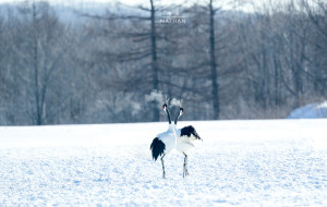 【札幌图片】[南山Nathan]雪の北海道(圣诞+元旦野性北国摄影之旅)