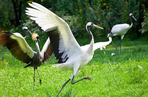 —丹顶鹤,天生善舞的它们也将带来纷繁柔美的舞蹈表演;非洲大