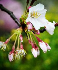 绍兴樱花节