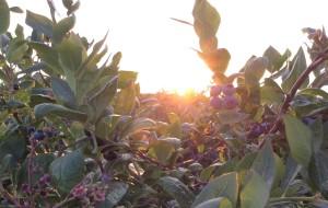 【温哥华图片】温哥华的蓝莓季