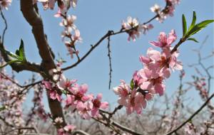 【平谷图片】你那么美~你那么魅~五一平谷桃花节