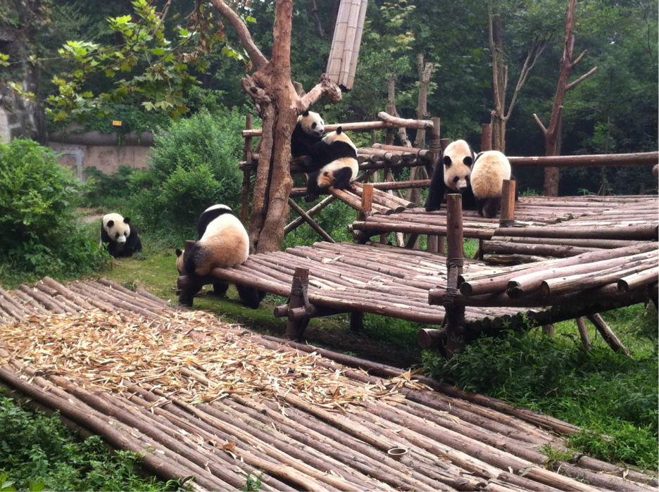 Visit pandas in their natural (man-made) habitats at the Chengdu Research Base of Giant Panda Breeding
