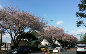 【西归浦图片】14.4.5-8去济州岛看樱花啦(一)