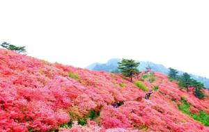 【大别山图片】人间四月天,麻城看杜鹃