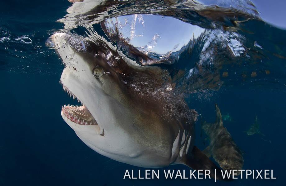 你有这么近距离看过鲨鱼的牙齿吗?