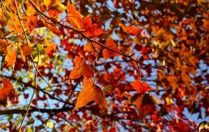 【莆田图片】寻找别样冬季--枫叶红了