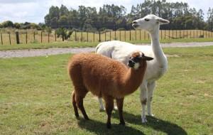 【罗托鲁瓦图片】新西兰最萌的动物...羊驼.国人称草泥马