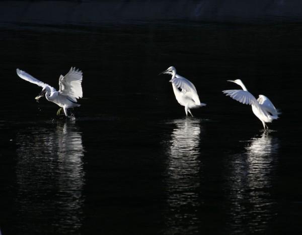 一只白鹭从水里叼起一条鱼,但它还没有来得及吃,另外一只白鹭就扑过来要抢夺胜利成果.