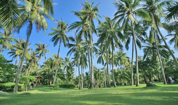 魅力的椰子树,美丽的海南椰风,你是海南耀目的翡翠珠链.