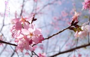 【韶关图片】新丰の桜