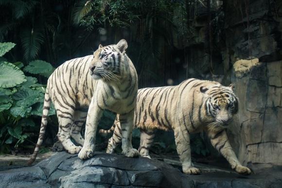 而长隆野生动物世界就拥有现存白虎总数的一半以上