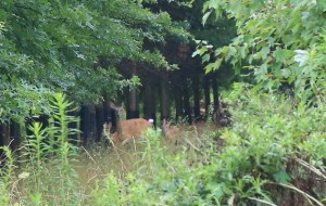【费城图片】美加行之七-------无心散步步行道,巧遇野鹿野兔群